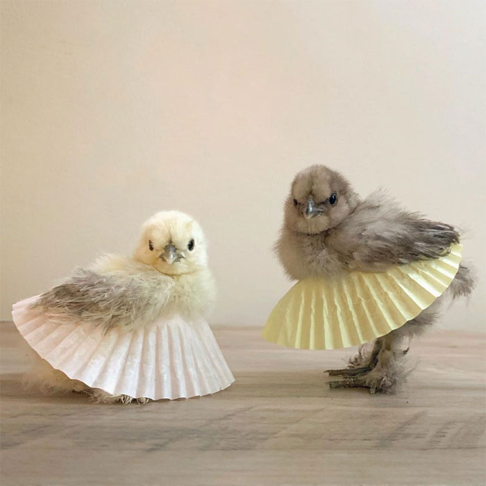 adorable-chickens-tutus-1-5d26e37d60e0a__700.jpg