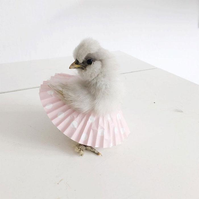 adorable-chickens-tutus-5d26e39698647__700.jpg