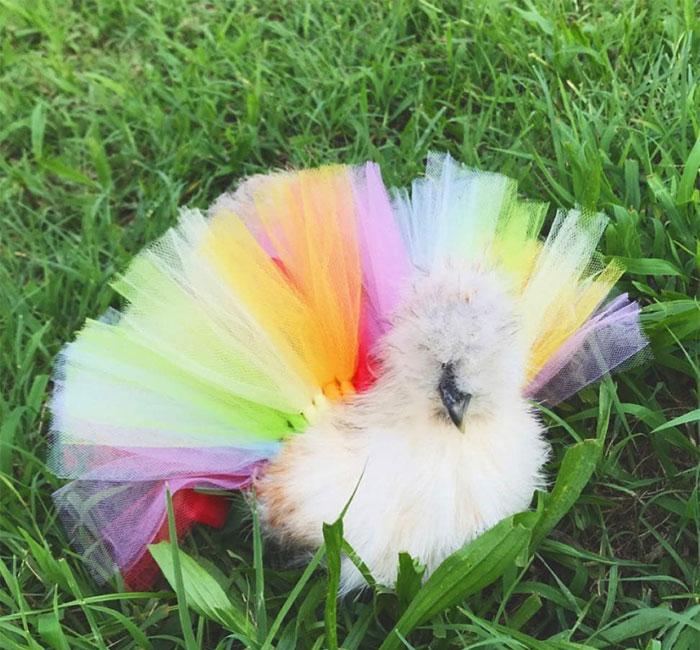 adorable-chickens-tutus-5d26e40df18b7__700.jpg